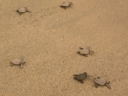 Loggerhead hatchlings on their way to the sea
